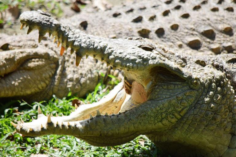 bioparque-los-ocarros-cocodrilo-1